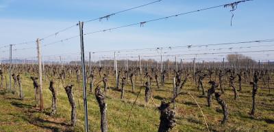 La réparation et le liage de la vigne