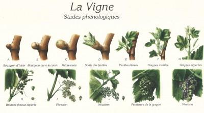 Les stades phénologiques de la vigne